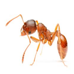 Избавиться от муравьев в Тюмени